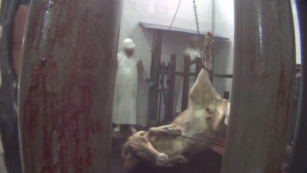 kosher_slaughter_shackle_and_hoist_edit_c3-00_04_46_06-still039