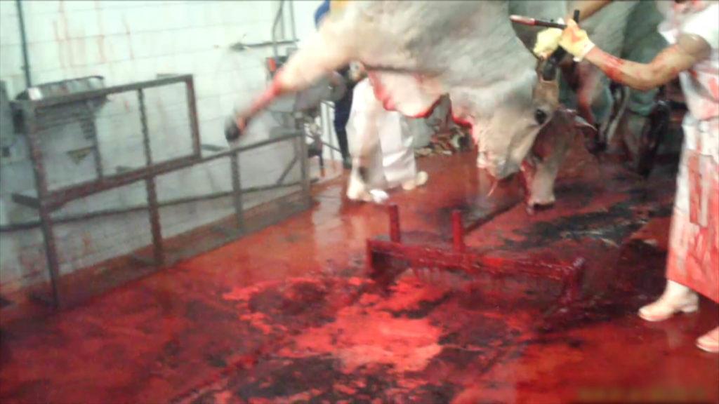 kosher_slaughter_shackle_and_hoist_edit_c3-00_06_39_23-still015