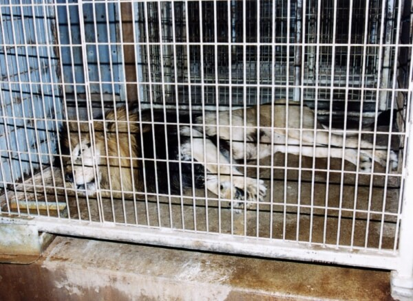 lion laying down in tiny cage at circus