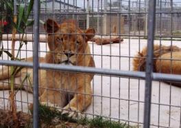 Autoridades de zoológico les dispararon a dos leones, según los reportes, después de que hombre desnudo saltó dentro de la jaula
