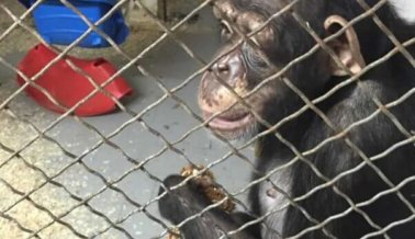 La chimpancé Lisa Marie finalmente está libre
