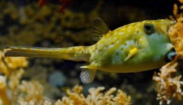 Valiente pez globo no abandona a su amigo atrapado
