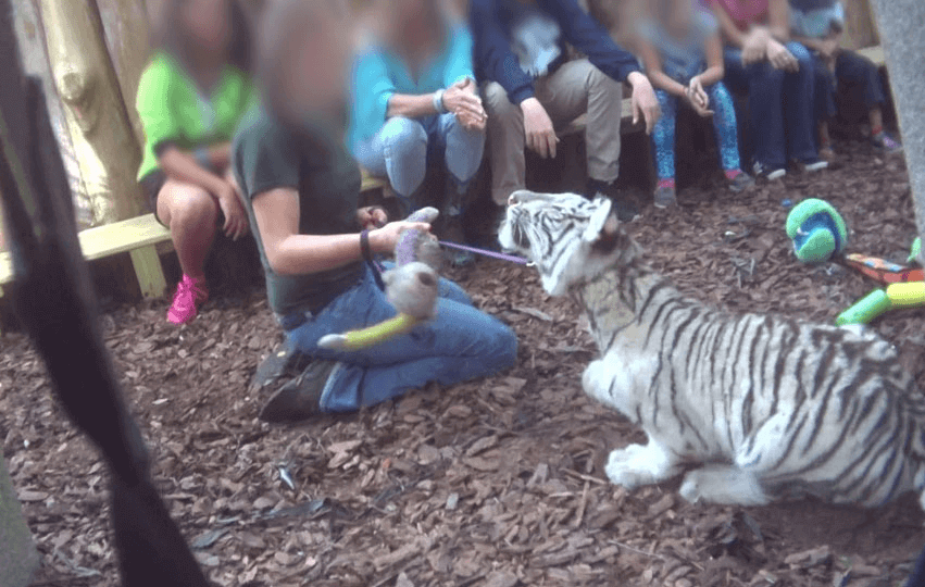 Tigre en cautiverio