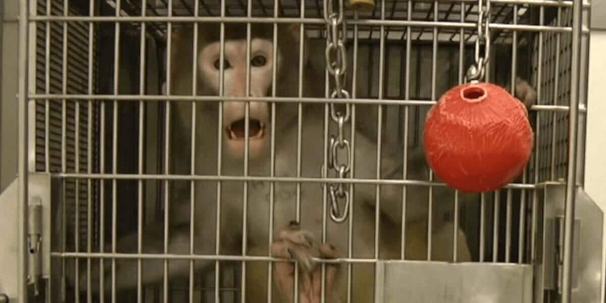 Mono enjaulado en laboratorio de experimentos
