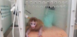 Mono pequeño experimento en laboratorio zika