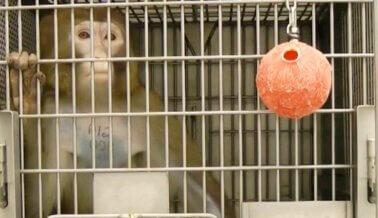 Científico de PETA Descubre a Funcionario de la Universidad de Washington MINTIENDO Acerca de Investigación Sobre COVID-19