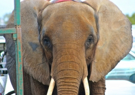 Heartbreaking Footage of Nosey: The Saddest Elephant