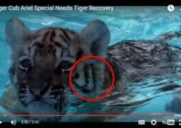 En el video del zoo del cachorro de tigre 'curado' hay dos tigres diferentes