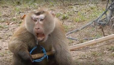 El Mono Odd Es Rescatado de la Abusiva Industria Tailandesa del Coco