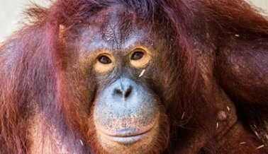¡VICTORIA! La Orangutana Sandra Será Trasladada a un Santuario Acreditado