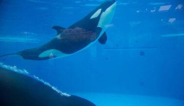 Noticia de último momento: La lucha contra SeaWorld ganó el primer round: ¡Se termina la crianza de orcas!
