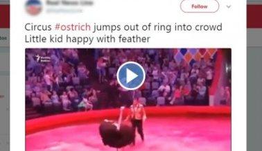 Gentío en un circo ruso huye despavorido cuando un avestruz ya harto, se escapa de su manejador