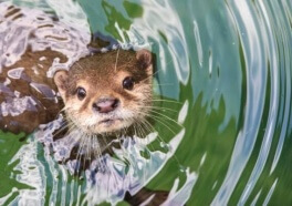 Otter Drowns After Zoo Workers Give Him a Pair of Pants