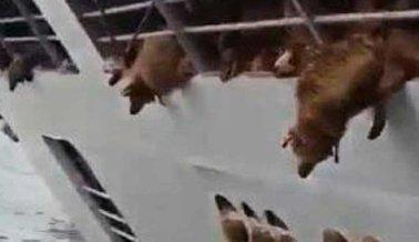 Más de 14.000 Ovejas Ahogadas Tras Hundirse 'Barco de la Muerte' en el Mar Negro
