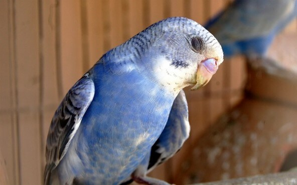 The Stress Of Confinement Causes Some Birds To ATTACK Their Cagemates In One Incident A Parakeet At PETCO Store Became Victim