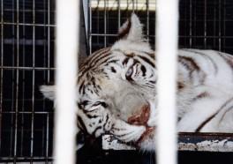 6 BIG Reasons Why Big Cats Don't Belong in Circuses