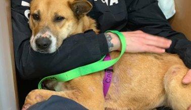COVID-19: El Trabajo Vital de PETA Para Ayudar a los Animales No Se Detiene.