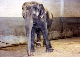 Update: Animal Trainer Who Starved Elephant Denied Another Exhibitor License
