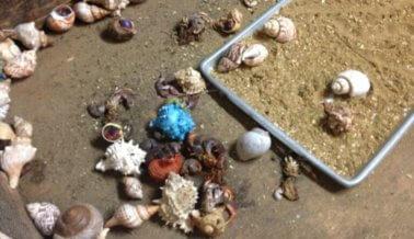 Destrozan Caparazones de Cangrejos Ermitaños Vivos
