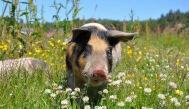 PETA Ayuda a Bolivia a Evitar las Pruebas en Animales Para el Nuevo Respirador Para COVID-19
