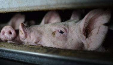 Bomberos escuchan gritos de 1,200 cerdos quemados vivos en incendio de establo
