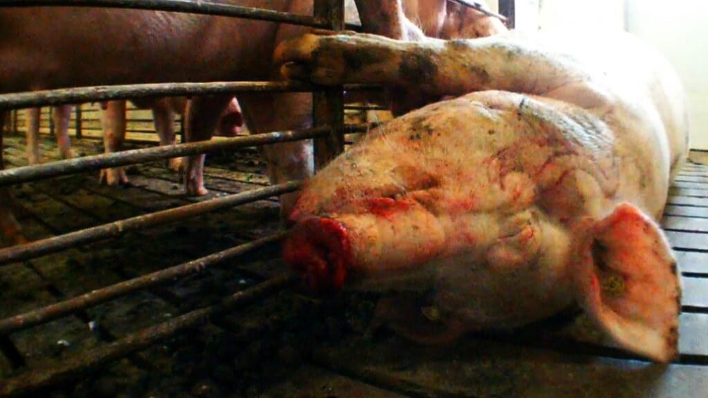 pig investigation still
