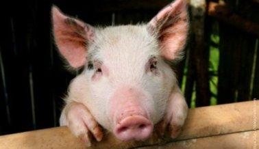 Lo Que Los Cerdos Son Capaces de Hacer Para Salvar Las Vidas de Sus Amigos