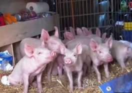 Video: 11 Piglets Saved After Farmers Have a Change of Heart