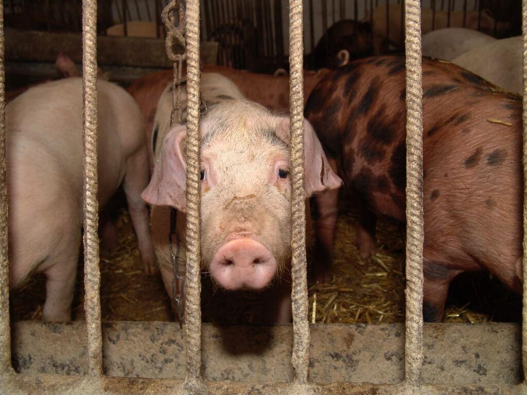 la carne de cerdo es mala para el corazon