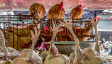 Pollos con Virus Aviar Vendidos en Tiendas: Sé Vegano Ya