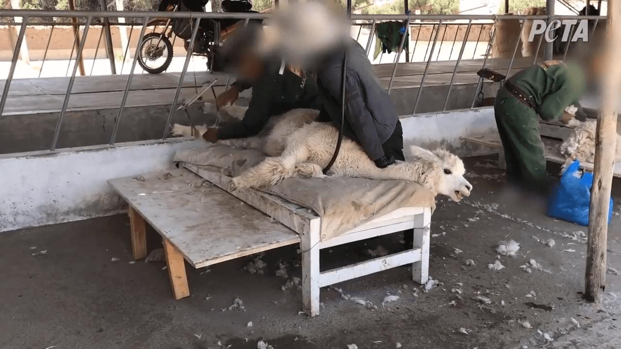 Pregnant alpaca slammed on table