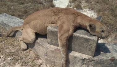 ¡Indignante! Matan a tiros a un puma en Colombia