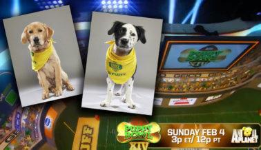 Mira a los dos cachorros de PETA competir en el XIV Puppy Bowl