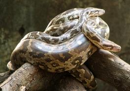 5 razones para NUNCA comprar una serpiente
