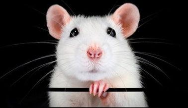 Con el Coronavirus, los NIH Hacen lo que PETA Siempre Propone: Ensayar Directamente en Humanos