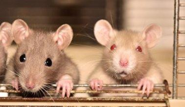 Cómo el Coronavirus está Cobrándose Millones de Vidas de Animales