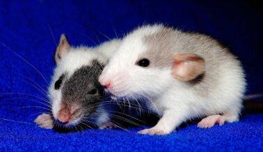Los Científicos No Confían en Experimentos sobre Depresión en Animales