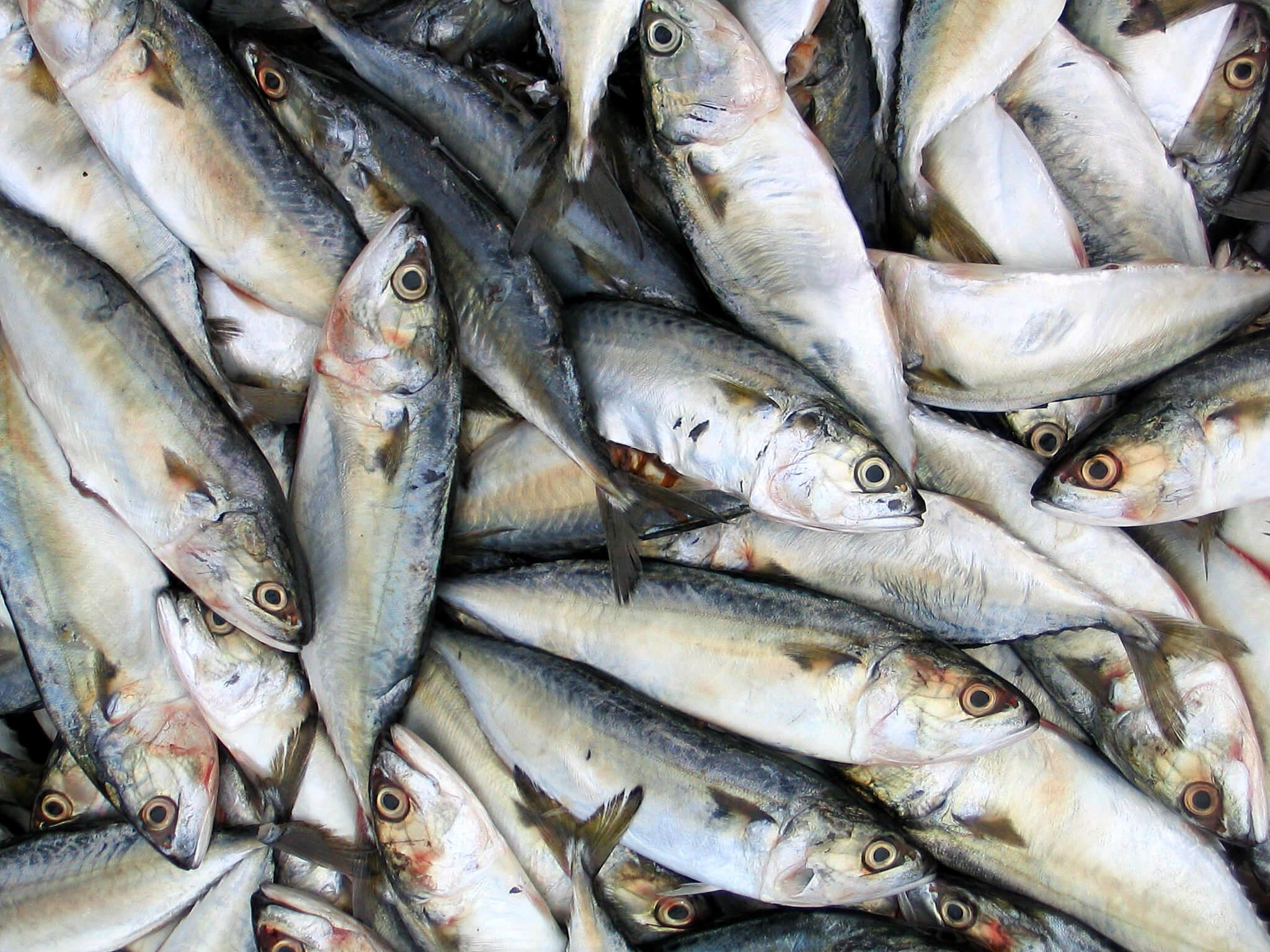sardine fish sxc 196479