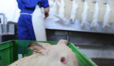 Los Conejos Son Desollados Vivos, Colgados y Asesinados en Formas Asquerosas. ¿Vale la Pena su Sufrimiento?