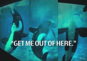 Orca held captive in Seaworld tank