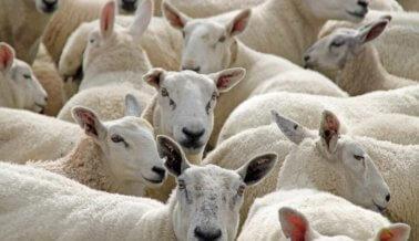 Las ovejas mueren cuando compras botas UGG