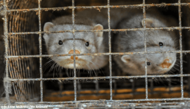 Suecia Prohíbe la Cría de Visones en 2021 — PETA Dice Que Sea Permanente