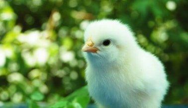 10 razones para no comer pollo