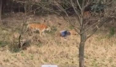 (Imágenes fuertes) Hombre y tigre muertos tras intento fallido de ingresar al zoo