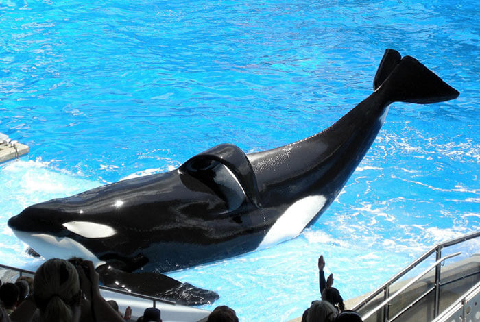 Tilikum tiene una aleta dorsal colapsada, señal de una orca enferma y estresada. Muchas orcas en cautiverio (pero pocas en la naturaleza) tienen aletas colapsadas.