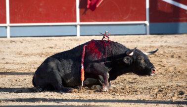PETA Latino Nunca Dejará De Luchar Por Los Toros