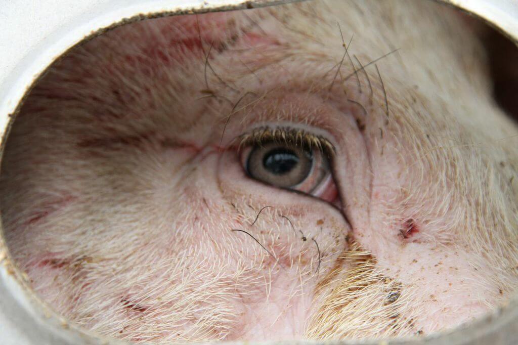 toronto pig save-transport (11)