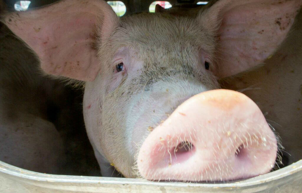 toronto pig save-transport (13)