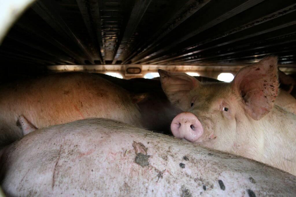 toronto pig save-transport (14)