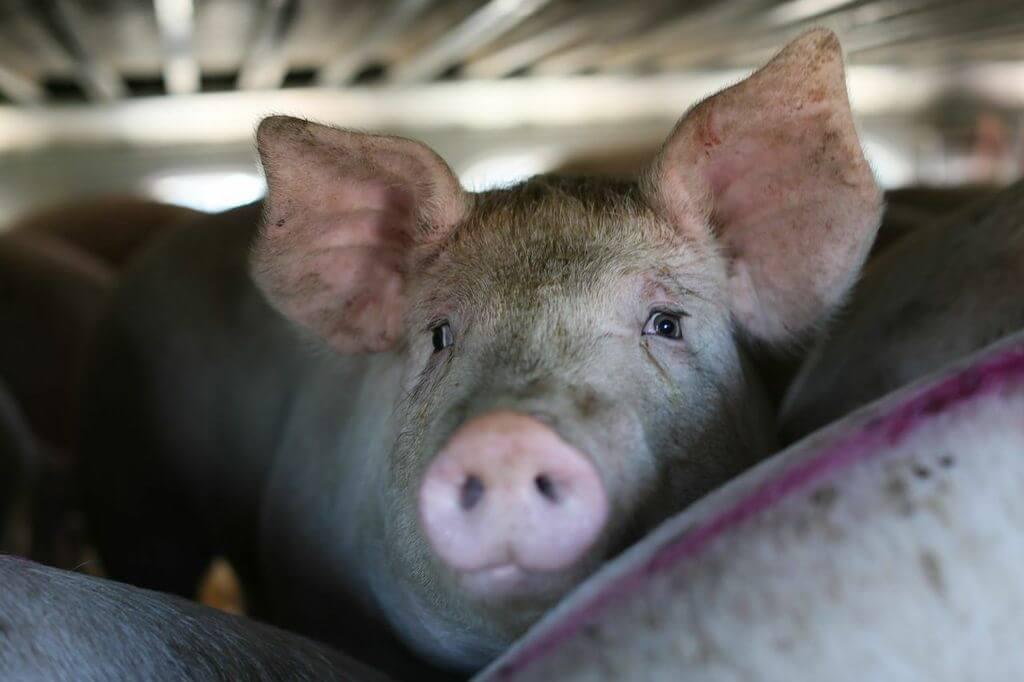 toronto pig save-transport (16)